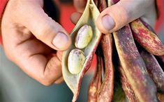 Whether it's runner or borlotti, add some delicious and plentiful beans to your veg patch this summer. talked about many type of beans that i like! Edible Plants, Edible Garden, Allotment Gardening, Allotment Ideas, Growing Beans, Bean Pods, Types Of Beans, Veg Patch, Corner Garden