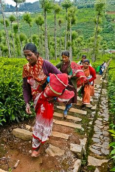 Women work picking tea leaves in the fields near Ooty, Tamil Nadu, southern India. Photo: anthony pappone photographer, via Flickr