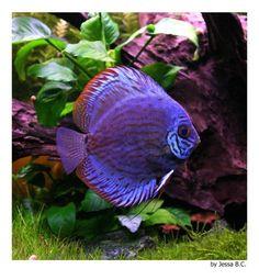 Guía de los peces de acuario - Disco