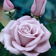 Rose Climbing Waltz Time
