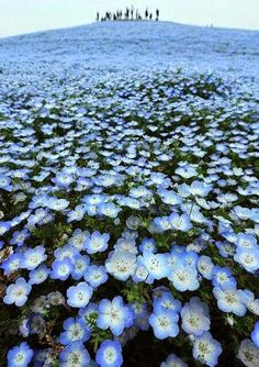 Bluest of Blue in Hitachi Eastside Park ~ Ibaraki, Japan
