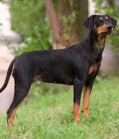 German Pinscher. Get a Free Consultation for your #dog from our Friends at Nature's Select #Petfood http://naturalpetfooddelivery.com/nsd/usa/free-consultation/