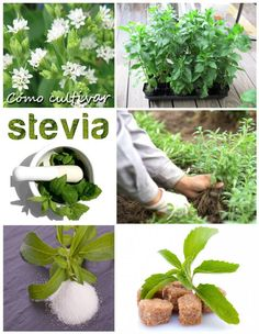 Cómo+cultivar+Stevia:+una+planta+con+grandes+beneficios Herb Garden, Home And Garden, Farm Projects, Plantar, Good To Know, Gardening Tips, Things To Do, Patio, Edible Garden