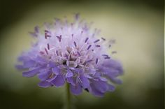 """Plants of the Month.Scabious """"Butterfly Blue"""". March 2013"""