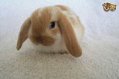 Three gorgeous mini lop Rabbits for sale! | Nottingham, Nottinghamshire | Pets4Homes