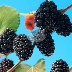ž Berries, Fruit, Food, Essen, Bury, Meals, Yemek, Eten, Blackberry