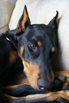 #Doberman #Pinscher #Puppy #Dogs