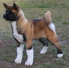 Meet a breed that& a Japanese national treasure, learn why parents get Akita statues when babies are born, and find out if these dogs are right for you. Akita Puppies, Dogs And Puppies, Doggies, American Akita Dog, Female Dog In Heat, Unique Dog Breeds, Best Dog Breeds, Hachiko, Medium Dogs