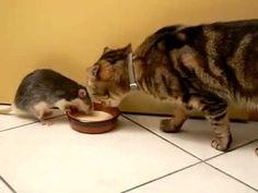 Ratten und Katzen können ziemlich beste Freunde sein, die auch schon mal ihre Milch zusammen aus einer Schale schlecken.