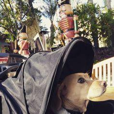 Sunday funday  #sundayfunday #corgi #labrador #corgicommunity #corgidor #dogsofinstagram #labrador #enjoyinglife #livingthelife #doglifestyle #livingthedream by jackster_corgidor