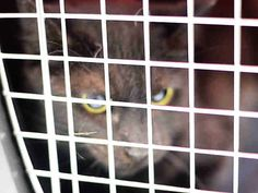 HARRIET – A1123812  SPAYED FEMALE, BLACK,  Reason OWNER HOSP Super Urgent Shelter Cats  These animals are either high risk, injured or have previously appeared on the To Be Destroyed list and survived. They are in danger of being on the list again or destroyed without any further notice.