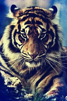 cool tiger pic