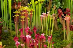 A dramatic range of Sarracenia (pitcher plants) were displayed by Hampshire Carnivorous featuring pitchers in a surprising range of colours. Examples included S. rubricorpa with reddish pitchers and contrasting yellowish lids. Chelsea Flower Show, Lush Beauty, Pitcher Plant, Carnivorous Plants, Weird And Wonderful, Tropical Garden, Garden Plants, Aloe, Display