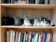 Shelf of kitties cat books book Animals And Pets, Funny Animals, Cute Animals, Funny Horses, Animals Images, Crazy Cat Lady, Crazy Cats, Cute Cats, Funny Cats