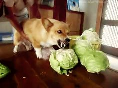 This dog who hates cabbage. | The 40 Greatest Dog GIFs Of All Time