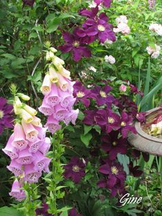 Purple Clematis and Lavender Foxglove in the garden by Le Top des maison