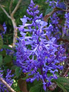 Did you know that the word perennial comes from a Latin word, meaning 'enduring' or 'perpetual?' Perennials appear year after year, flowering duri. Flora Garden, Garden S, Shade Garden, Garden Paths, Garden Ideas, African Tree, African Plants, Bulbous Plants, Public Garden