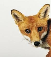 Resultado de imagem para raposa