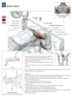 flat bench barbell press | chest Anatomy workout