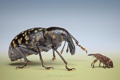 """Lesser of two weevils by Igor Siwanowicz: Liparus is one of the largest European weevils, while Pissodes falls in the """"lesser weevils"""" #Insects #Weevils"""