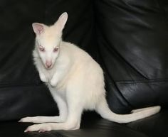 Albino Kangaroo image by viprincess114 - Photobucket