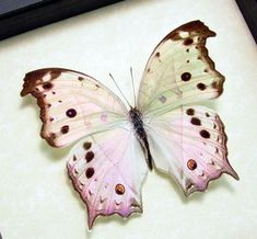 Mothers Day Gift Mother Of Pearl Real by REALBUTTERFLYGIFTS, $39.99