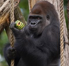 """O Grito do Bicho"": Gorila escapa de jaula e paralisa o zoológico de L..."