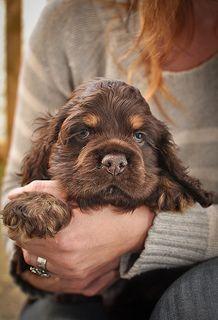 Beautiful Cocker Spaniel puppy via @KaufmannsPuppy