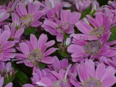 cineraria rosa