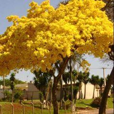 Araguaney árbol nacional de Venezuela.
