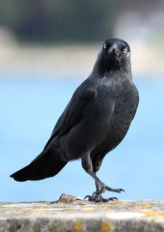 Jackdaw (by Chris Illman)