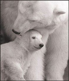 Polar Bears #polarbears Visit our page here: http://what-do-animals-eat.com/polar-bears/
