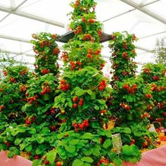 [Visit to Buy] 300 pcs/bag climbing strawberry seeds strawberry tree organic fruit seeds sweet gaint potted plant home garden bonsai seeds Strawberry Tree, Strawberry Plants, Fruit Plants, Banana Plants, Indoor Bonsai, Bonsai Plants, Bonsai Garden, Potted Plants, Indoor Plants