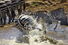 El Reino Animal: LA GRAN MIGRACIÓN. El mayor espectáculo del mundo