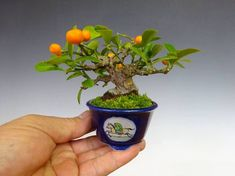 Mini citrus bonsai - I have a number of these I am training. Lime, Orange, Lemon, and a tangerine. Tricky to pull off on a smaller bonsai without getting a variety that also produces miniature fruit. Bonsai Fruit Tree, Buy Bonsai Tree, Japanese Bonsai Tree, Bonsai Trees For Sale, Dwarf Fruit Trees, Bonsai Tree Care, Bonsai Tree Types, Indoor Bonsai Tree, Bonsai Plants