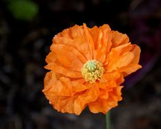 Papaver Seeds Double Tangerine Poppy Seeds 250 thru seeds Orange Papaver Ornamental Cabbage, Tangerine Color, Orange Poppy, Seeds For Sale, Zone 5, Garden Seeds, Plantation, Flower Seeds, Pansies