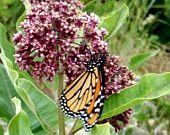 monarch on milkweed -nature photography