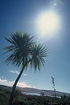 The cabbage tree is one of the most distinctive trees in the New Zealand landscape, especially on farms. Native Plants, Getting Old, New Zealand, Nativity, Cabbage, Flora, Exotic, Clouds, Landscape