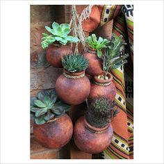 Drought resistant succulents and cactus growing in suspended Mexican terracotta pots. For Steve's rare cactus