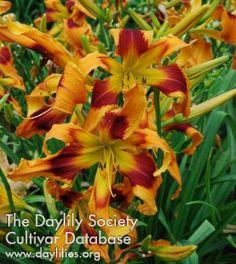 Daylily Orange Spice