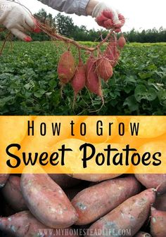 How To Grow Sweet Potatoes In 5 Easy Steps! - My Homestead Life for beginners potatoes How To Grow Sweet Potatoes Sweet Potato Leaves, Sweet Potato Slips, Sweet Potato Plant, Sweet Potato Noodles, Potato Gardening, Organic Gardening, Indoor Gardening, Growing Tomatoes, Growing Vegetables