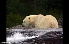Polar bear safari in northern Quebec and Labrador