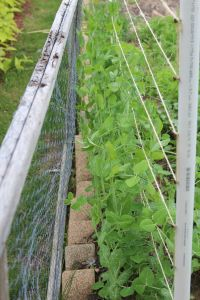 Do your peas do this? A perfect trellis right there and they reach for anything but!