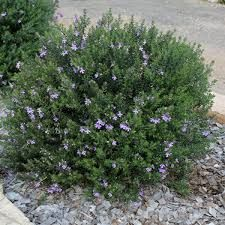 Westringia Fruticosa - Blue Gem Coastal Rosemary // Zone 1 // Front Garden hedge or bush. Australian Native Garden, Plants, Australian Plants, Hardy Plants, Australian Native Plants, Garden Shrubs, Native Plants, Dry Garden, Australian Garden