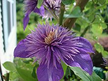 Order:	Ranunculales Family:	Ranunculaceae Subfamily:	Ranunculoideae Tribe:	Anemoneae Genus:	Clematis.   Wikipedia, the free encyclopedia