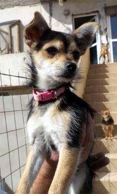 Hund - Welpe, Yorkshire Terrier (Mischling, Hündin, 4 Monate) Spanien - Diva