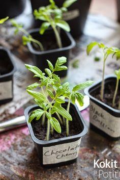 Tomaatin kasvatus – taimien koulinta ja lannoitus | How to grow tomatoes. #tomaatti #kasvatus #viljely #koulinta #tomato #kitchengarden #keittiöpuutarha