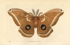 Framed Print-Polyphemus moth, Antheraea polyphemus-Framed Print made in the USA Art Antique, Antique Prints, Framed Art, Framed Prints, Canvas Prints, Butterfly Painting, Zoology, Botanical Prints, Fine Art Paper