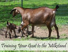 How to train your goat to the milkstand