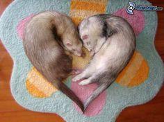 kleine Frettchen, Herz